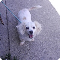 Cockapoo/Cavalier King Charles Spaniel Mix Dog for adoption in Lafayette, Indiana - Baby