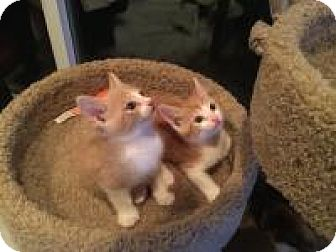 Domestic Shorthair Kitten for adoption in Mission Viejo, California - Marvel and Chumley