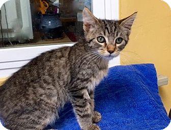 Domestic Shorthair Kitten for adoption in Long Beach, California - Rebel 2
