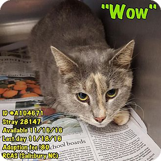 Calico Cat for adoption in Salisbury, North Carolina - Wow