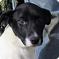 Pointer/Labrador Retriever Mix Puppy for adoption in Germantown, Maryland - Wagner