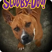 Boxer/Pit Bull Terrier Mix Dog for adoption in Paducah, Kentucky - Scooby Doo