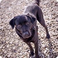Adopt A Pet :: Sampson - Brattleboro, VT