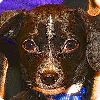 Adopt A Pet :: SB Lotus - Fairfax Station, VA