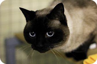 Siamese Cat for adoption in Mission, British Columbia - Natasha