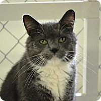 Domestic Shorthair Cat for adoption in East Smithfield, Pennsylvania - Sneakers Fusare