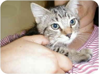Domestic Shorthair Kitten for adoption in Proctor, Minnesota - Simba