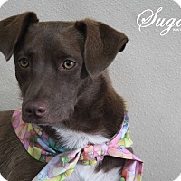 Adopt A Pet :: Sugar - Rockwall, TX