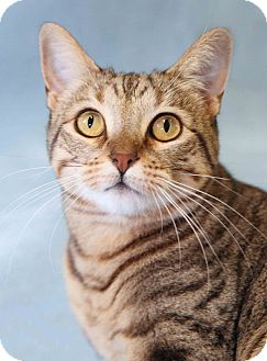 Domestic Shorthair Cat for adoption in Encinitas, California - Leia