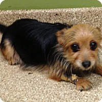 Adopt A Pet :: Ginny - Fairview Heights, IL