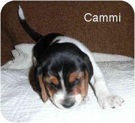 Basset Hound Mix Puppy for adoption in Phoenix, Arizona - Cammi