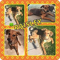 Adopt A Pet :: Paisley - Scottsdale, AZ