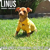 Adopt A Pet :: Linus - Rancho Cucamonga, CA