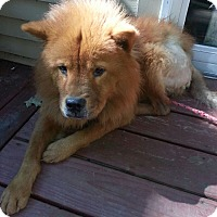 Chow Chow Dog for adoption in bath, Maine - LUCY BELL