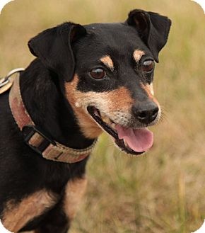 Miniature Pinscher Mix Dog for adoption in Lafayette, Indiana - Rocky