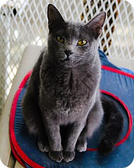 Domestic Shorthair Cat for adoption in Odessa, Texas - Edgar