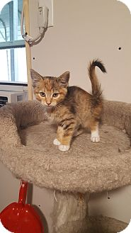 Domestic Shorthair Kitten for adoption in Wichita, Kansas - Harper