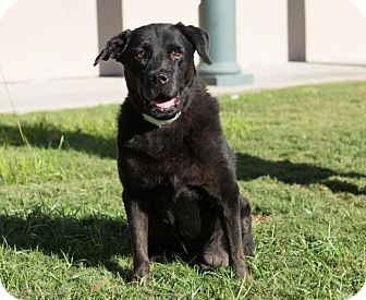 Labrador Retriever Dog for adoption in Folsom, Louisiana - Polly