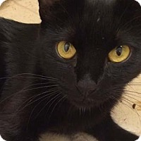 Domestic Shorthair Cat for adoption in Merrifield, Virginia - Mia
