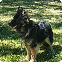 Adopt A Pet :: Chessa - Brookfield, CT