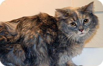 Domestic Mediumhair Cat for adoption in Wildomar, California - Sweety