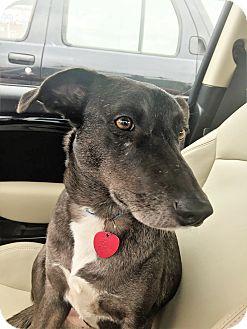 Border Collie/Australian Shepherd Mix Dog for adoption in Glastonbury, Connecticut - Stella