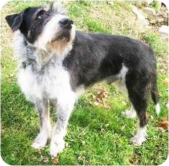 laddie adopted dog latrobe pa german wirehaired