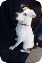 Jack Russell Terrier Mix Dog for adoption in Omaha, Nebraska - Bubbles
