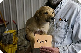 Catahoula Leopard Dog/Border Collie Mix Puppy for adoption in Conway, Arkansas - Chip