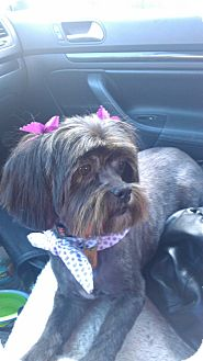 Shih Tzu Mix Dog for adoption in Sheridan, Oregon - Tana