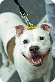 Pit Bull Terrier Mix Dog for adoption in Hillsborough, New Jersey - Sheba