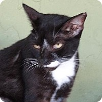Domestic Shorthair Cat for adoption in Palm City, Florida - Chip
