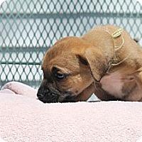 Adopt A Pet :: Sophia - ARDEN, NC