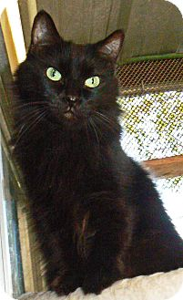 Domestic Longhair Cat for adoption in Converse, Texas - Raven