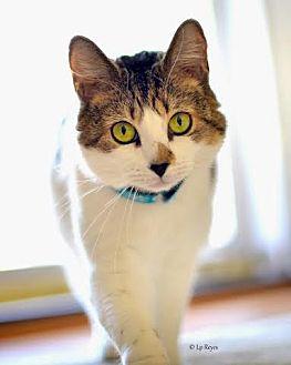Domestic Shorthair Cat for adoption in Eagan, Minnesota - Sophia