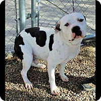 American Bulldog Dog for adoption in Beverly Hills, California - Plymouth