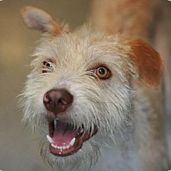 Photo 4 - Wheaten Terrier/Terrier (Unknown Type, Medium) Mix Dog for adoption in Canoga Park, California - Tanner