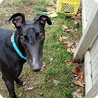 Adopt A Pet :: Gino - Swanzey, NH