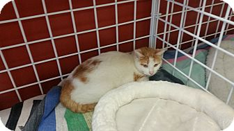 Domestic Shorthair Cat for adoption in Houston, Texas - LARS
