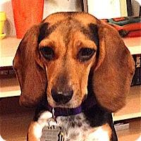 Adopt A Pet :: Parsley - Houston, TX