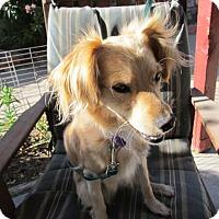 Adopt A Pet :: Rose - El Paso, TX