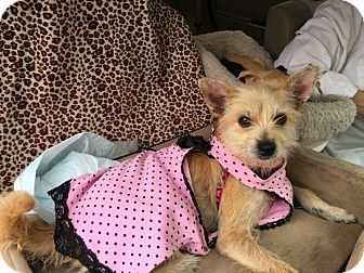 Australian Terrier Mix Dog for adoption in McAllen, Texas - Carly Purina