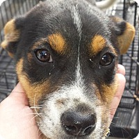 Beagle Mix Puppy for adoption in Preston, Connecticut - Rascal