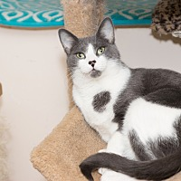 Domestic Shorthair Cat for adoption in Chicago, Illinois - Sweetie