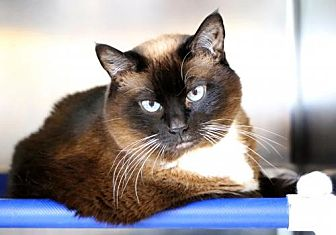 Siamese Cat for adoption in Roseville, California - Sally