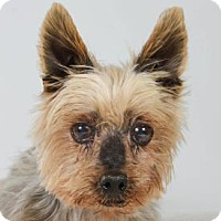 Yorkie, Yorkshire Terrier Dog for adoption in Colorado Springs, Colorado - Cadbury