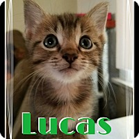 Adopt A Pet :: Lucas - Chicago, IL