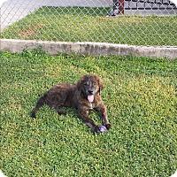 Adopt A Pet :: Bender - San Antonio, TX