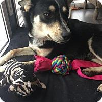 Adopt A Pet :: Chops - Fargo, ND