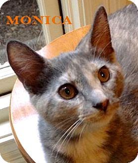 Domestic Shorthair Cat for adoption in Baton Rouge, Louisiana - Monica